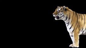 Tiger Banner debout Images libres de droits