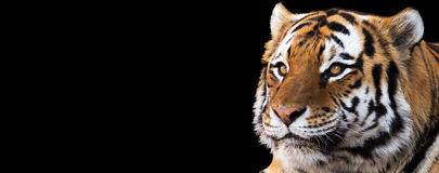 Tiger Banner. Banner portrait of an amur tiger on a black background with room for text Royalty Free Stock Image
