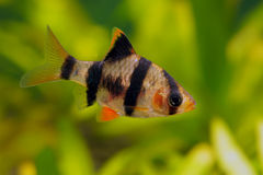 Tiger barb. Or Sumatra barb fish in the aquarium royalty free stock images
