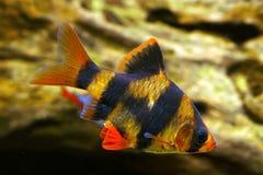 Tiger barb. Or Sumatra barb fish in the aquarium Royalty Free Stock Photos