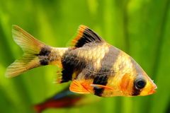 Tiger barb. Or Sumatra barb fish in the aquarium stock images