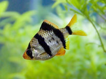 Tiger barb. In the aquarium stock photos