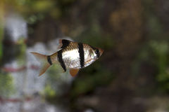Tiger Barb  703922 Royalty Free Stock Photography