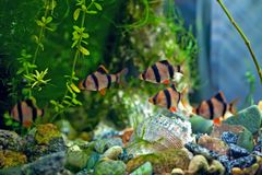 Tiger barb a in aquarium. Fish underwater Royalty Free Stock Photos
