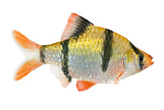 Tiger barb fish. The tiger barb, Puntius tetrazona royalty free stock images