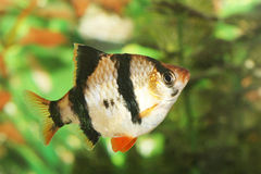 Tiger barb fish. Freshwater fish :   Tiger Barb Stock Image