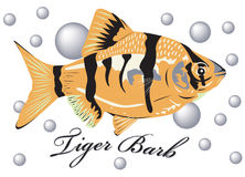 Tiger barb fish. Royalty Free Stock Image