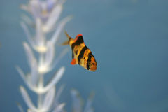 Tiger Barb Fish in Aqaurium. A lone tiger barb fish in an aquarium Royalty Free Stock Photography