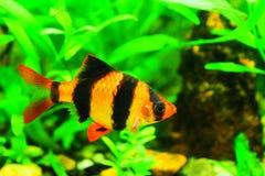 Tiger barb in a freshwater aquarium.  Stock Image