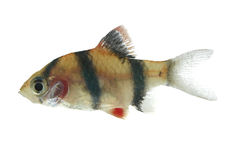 Tiger barb (Puntius tetrazona). Aquarium fish on white background Royalty Free Stock Photography