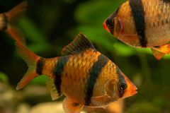 Tiger barb Puntius tetrazona in aqua on the background of plants stock image
