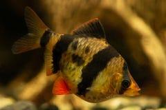 Tiger barb Puntius tetrazona in aquarium stock photos