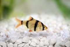 Tiger barb or Sumatra barb Puntius tetrazona tropical aquarium fish  Royalty Free Stock Images