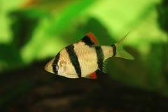 Tiger barb or Sumatra barb Puntius tetrazona tropical aquarium fish Stock Images