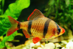 Tiger barb. Or Sumatra barb fish in the aquarium stock image