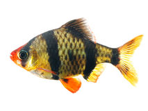 Tiger barb. Or Sumatra barb fish isolated on white background royalty free stock photography