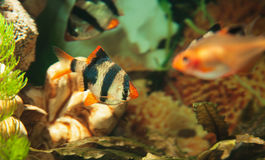 Tiger barbs and Minor tetra freshwater fish in aquarium Royalty Free Stock Photography