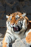 Tiger with bared fangs Stock Photos
