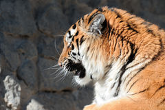 Tiger with bared fangs Stock Photography