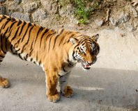 Tiger with bared fangs Stock Images