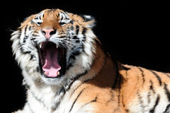 Tiger with bared fangs on the black background Stock Photos