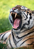 Tiger Baring Teeth Royalty Free Stock Photography