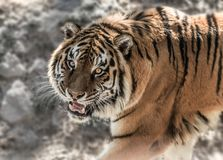 Tiger with baring teeth on the stone background in daytime. Tiger shows his fangs on the stone background in daytime stock photography