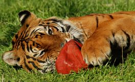 Tiger and Basketball. Tiger laying on its side in the grass with basketball between his paws Stock Photo