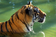 Tiger Bath Royalty Free Stock Images