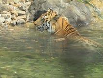 Tiger Bath en el agua de la mañana Foto de archivo libre de regalías