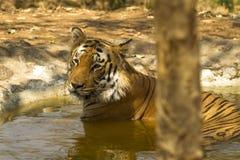 Tiger Bathing en una piscina Foto de archivo