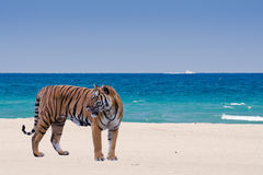 Tiger on the beach Royalty Free Stock Photo