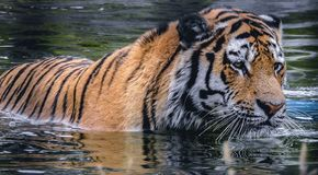 Tiger beats the heat with a swim. A tiger gets out of the heat and takes a swim royalty free stock photos