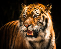 Tiger. Beautiful tiger against dark background royalty free stock image