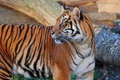 Tiger. Beautiful asian tiger in zoo Stock Image