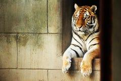 Tiger. A beautiful captive siberian tiger lying down royalty free stock image