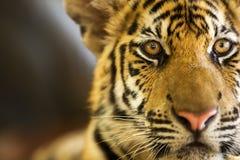 Tiger. Beautiful tiger looking alert (Panther Tigris stock photos