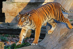 Tiger. Beautiful tiger moving around his cage in zoo Royalty Free Stock Images