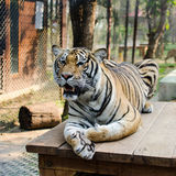 Tiger. Beautiful portrait of a quiet tiger Stock Photos