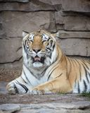 Tiger. Beautiful Tiger Resting royalty free stock images