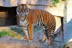 Tiger. Beautiful tiger standing on a trunk in Zoo Stock Images