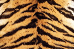 Tiger beautiful texture of real fur Royalty Free Stock Images