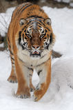 Tiger. Beautiful wild siberian tiger on snow Royalty Free Stock Images