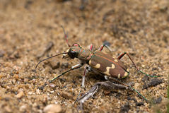 Tiger beetle Stock Photography