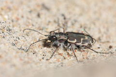 Tiger Beetle Stock Photo