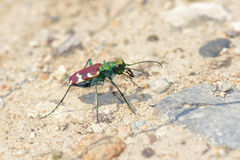 Tiger beetle Royalty Free Stock Photo
