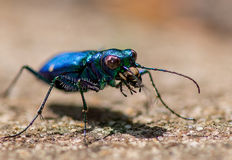 Tiger Beetle Fotografia Stock