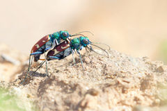 Tiger Beetle Imagem de Stock