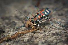 Tiger Beetle Fotografia Stock