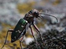 Tiger beetle (Cicindela campestris). macro Stock Image